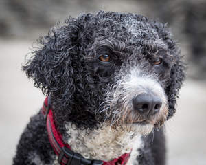A close up of a young Spanish Water Dog's thick curly coat