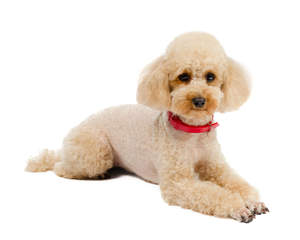 A Toy Poodle lying very neatly, waiting patiently for some attention