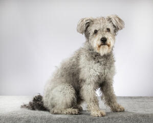 A grey Hungarian  Pumi with lovely curly fur