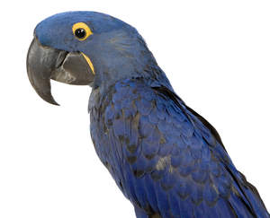 A Hyacinth Macaw's lovely, blue and black feather pattern
