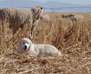 A wonderful Pyrenean Mountain Dog lying amongst the straw