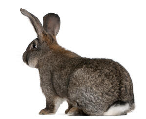 A Flemish Giant rabbit's wonderful fluffy white tail