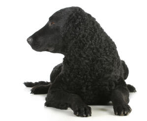 The strong shaped head and ringleted coat of the Curly Coated Retriever
