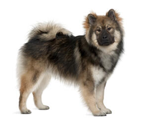 An adult Eurasier with a wonderful thick coat and bushy tail