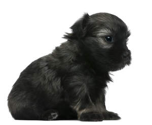 A beautiful, little Lowchen puppy with a soft, black coat