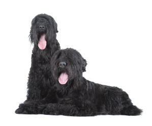 Two beautiful adult Black Russian Terriers content in each others company