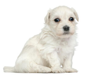 A Lowchen puppy with an incredible, soft, white coat
