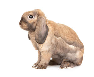 A Dwarf Lop rabbit's beautiful long floppy ears