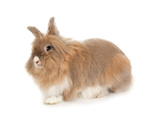 The incredibly soft coat of a Lionhead rabbit