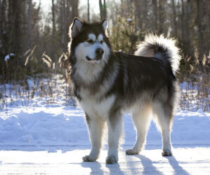 An Alaskan Malamute showing off it's beautiful thick coat and tail