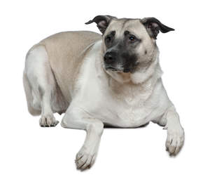A wonderfull Anatolian Shepherd Dog lying down with it's ears perked