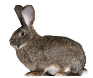 A beautiful Flemish Giant rabbit sitting