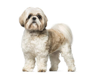 A beautiful little Shih Tzu standing tall, showing off its big bushy tail