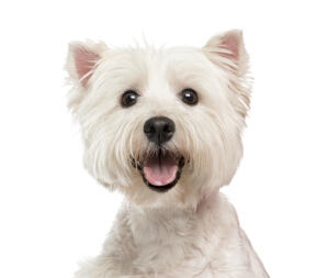 An excited West Highland Terrier panting, waiting for some attention from it's owner