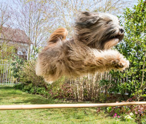 A Tibetan Terrier jumping incredibly high on the agility course