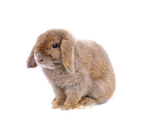 A French Lop rabbit's wonderful floppy ears
