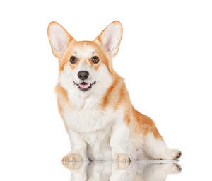 A health, young Pembroke Welsh Corgi sitting, waiting for some attention