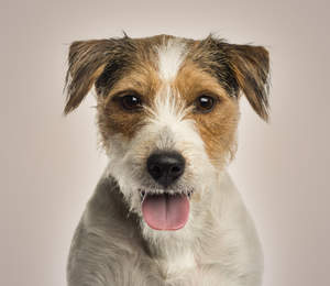 A close up of a Parson Russell Terrier's incredible wiry coat