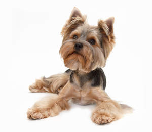 A healthy young Yorkshire Terrier with a puppy cut body