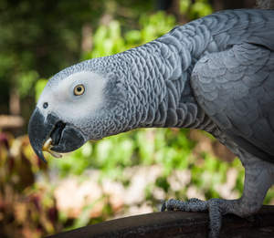 A African Grey Parrot showing off its lovely, long neck