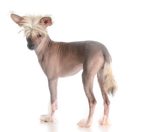An adult Chinese Crested with stylish white hair and feet