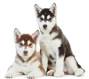 Two Alaskan Malamute puppies, very content in each others' company