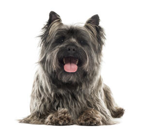 An adult Cairn Terrier with a beautifully kept long coat