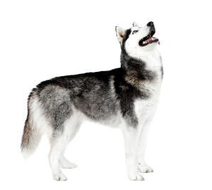 A big, strong adult Siberian Husky showing off its wonderful physique