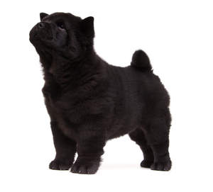 A young black coated Chow Chow puppy standing tall