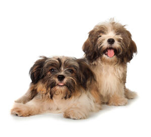 two lovely Havanese puppies lying together