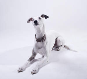 An inquisitive little grey Whippet lying neatly awaiting some attention from it's owner