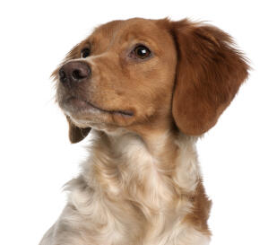 A close up of a Brittany puppy's long ears and pointed nose