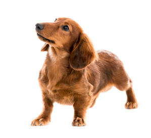 The lovely red Dachshund with a long, thick coat