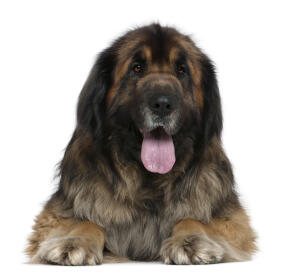 A close of of a Leonberger's thick soft coat and giant tongue