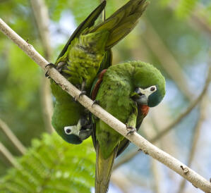 Two Red Shouldered Macaws perched together on a branch