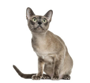 A beautiful Tokinese cat with a shiny coat