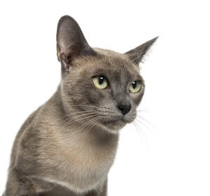 A young Tonkinese cat with its bright green eyes