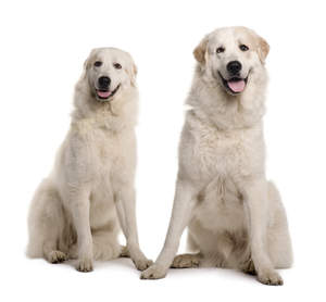 Two lovely, tall Pyrenean Mountain Dogs sitting neatly together