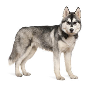 An adult Siberian Husky showing off it's wonderful thick coat and big, pointed ears
