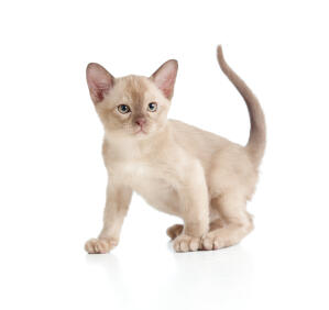 A lilac burmese kitten with sandy coloured eyes
