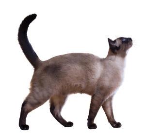 An elegant Siamese cat