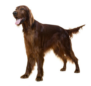 A young adult Irish Setter with a beautiful long coat