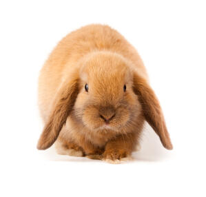 A Mini Lop rabbit with incredible soft red fur