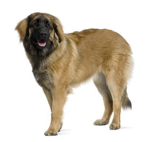 A healthy, adult Leonberger standing tall, showing off it's beautiful, thick coat