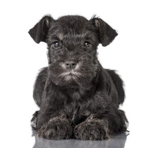 A lovely little Miniature Schnauzer puppy laying very neatly, paws together