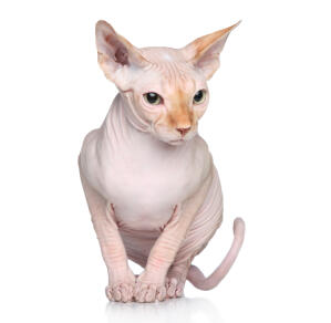 A Sphynx cat with ginger soft down on its nose and ears