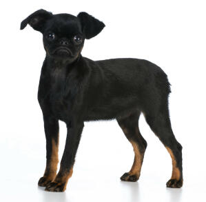 A young, black Brussels Griffon stood tall with beautiful brown socks