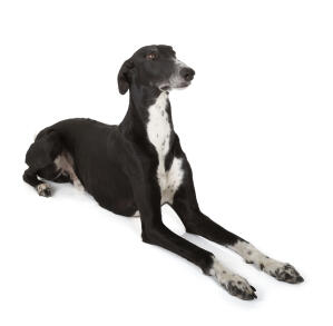 A young adult Greyhound with a lovely short, black and white coat