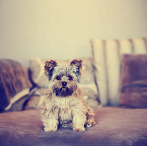 A lovely, little Yorkshire Terrier sitting neatly on the sofa