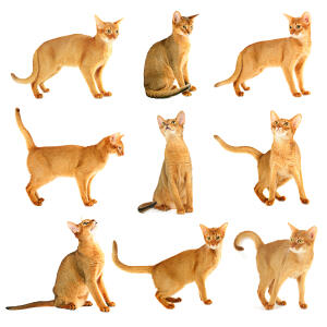 A beautiful abyssinian cat in different poses